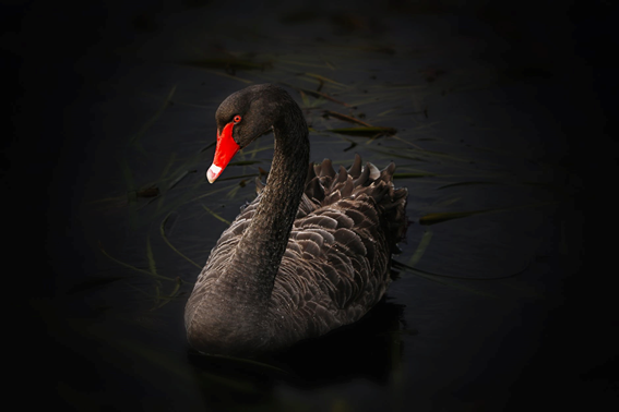How The Black Swan Influences Our Mood